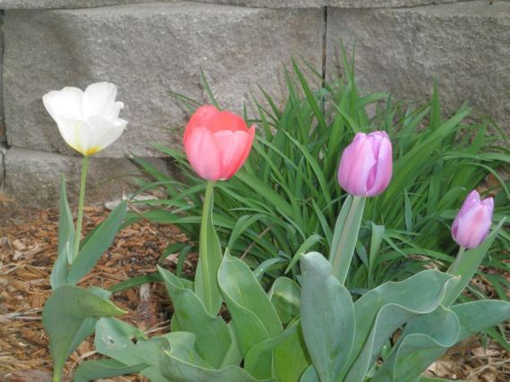Tulips 032212