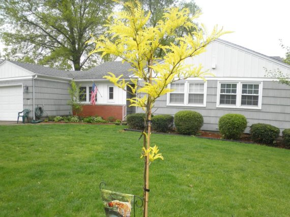 04152012 Golden Honey Locust