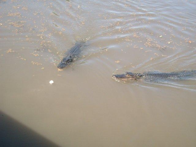 Alligators 2010