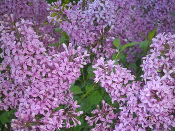 Lilacs040612
