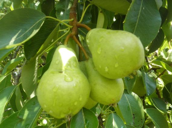 Pears 062412
