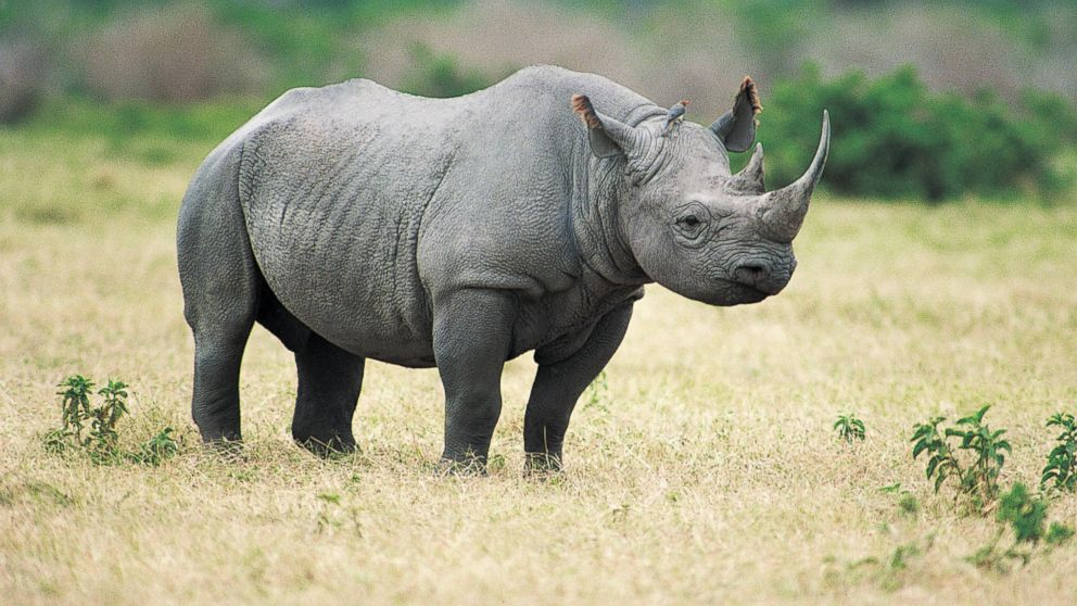 African black rhino | What's Peeps Thinking About Now? It's Probably ...