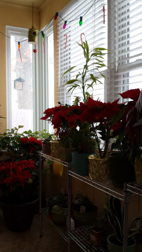 New Poinsettias