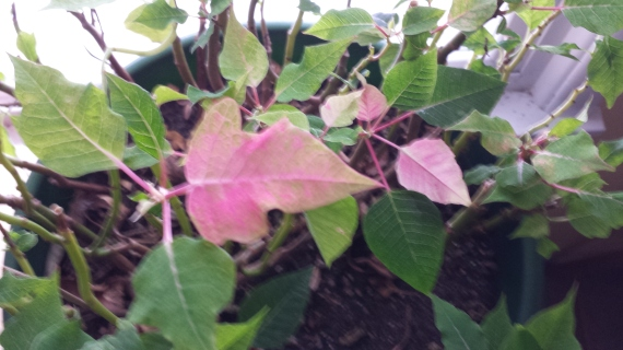 Poinsettias Turning Red in January