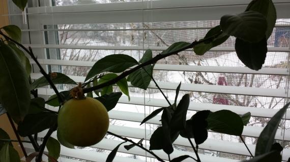 Snowy Lemon
