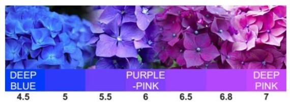 Hydrangea pH Levels