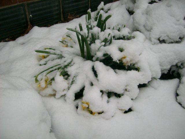 Snowy Daffies
