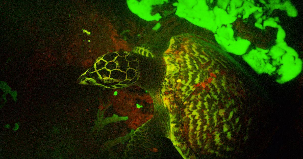 Glowing Turtle